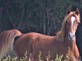 Beautiful Arab Colt