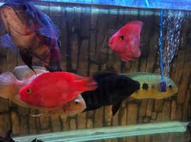 Large cichlids for sale Darlington
