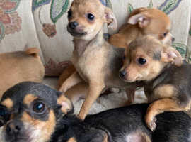 Chihuahua cross Jack Russell pups for sale