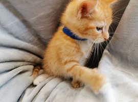 3 adorable ginger kittens