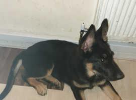 Straight back German shepherd pup