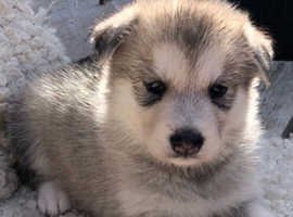 GORGEOUS HUSKAMUTE PUPPIES FOR SALE !!!