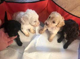 Adorable F1B cockapoo pups