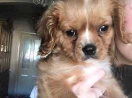 We have one ruby cavalier King Charles puppy