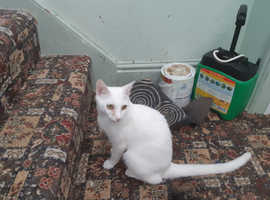 Pure white oriental male style cat