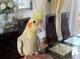 Silly Tamed cockatiel