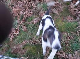 beagle harrier bitch