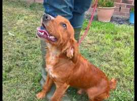 KC registered golden working Cocker Spaniel