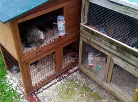 2hob ferrets for sale