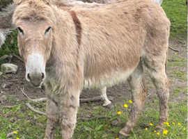 Jenny donkeys for sale