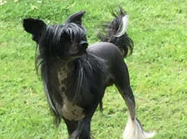 Pedigree Chinese Crested HHL Adult Male