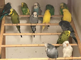 Budgerigars, baby,young and adult.