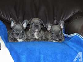 French Bulldogs ready for a good home