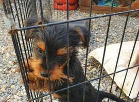 Yorky dachundboy pup