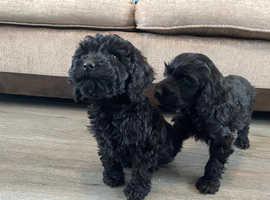 Cockerpoo puppys