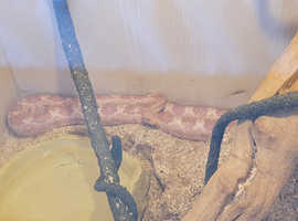 Corn snake for sale with tank