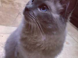 Rare blue mink