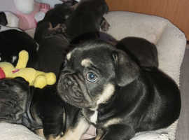 Wee last male of litter of 7 hes kc reg comes with 1st vaccine and wormed looking his comfy sofa to cuddle up on