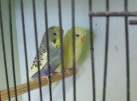 LOVELY   Pair Baby Budgies