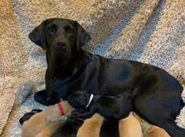 Chunky Labrador pups