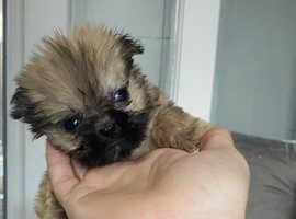 Shih Tzu X pug 12 week old girl