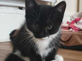 Kitten £35