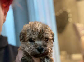 Cairn terrier cross poodle