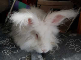 SOLD Neutered Angora Male beautiful nature 2yrs