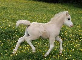 Flashy sec a palomino colt foal