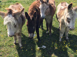 Pony donkeys