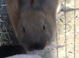 5 month old friendly female rabbit