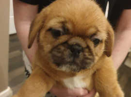 Beautiful french bulldog crossed shitz tzu
