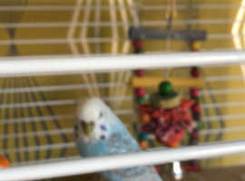 Blue n green budgies with cage