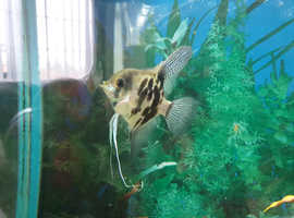 3-4 inch angelfish tropical aquarium fish