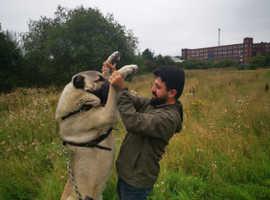 Turkish Kangal Anatolian shepherd Dog