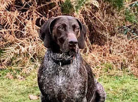 Wanted to adopt female German shorthaired pointer
