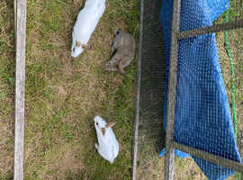 3 Baby Bunnies for Adoption