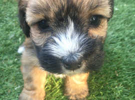 Norfolk terrier cross jack Russell