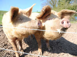 Two super friendly sows in-pig