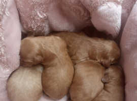 Golden / Fox Red Toy Cockapoo puppies (Only a few left!!!)