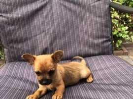 Tiny tiny little chihuahua boy