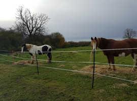 2 semi retired horses