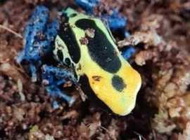 2 poisonous dart frogs