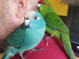 Two Kakariki Parakeets for sale