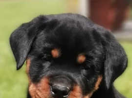 Stunning  Rottweiler puppies IKC Registered