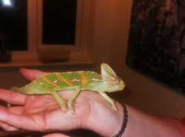 Male veiled chameleon,  1 year old
