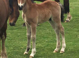 Top Quality Sec C Foals