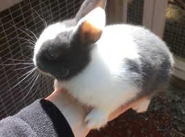 Gorgeous blue eyed baby mini bunny rabbits