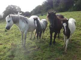 Black shetland mare