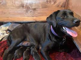 Kc registered black Labrador pups